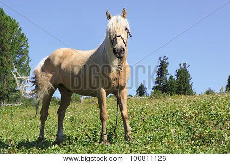 Beautiful palomino gelding grazing in an alpine meadow.