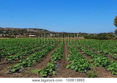 Rows of squash plants on a farm