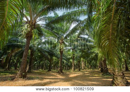Palm oil tree plantations, Thailand