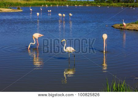 Flock of pink flamingos in the shallow duct  Rhone delta. Sunset in the Camargue national park