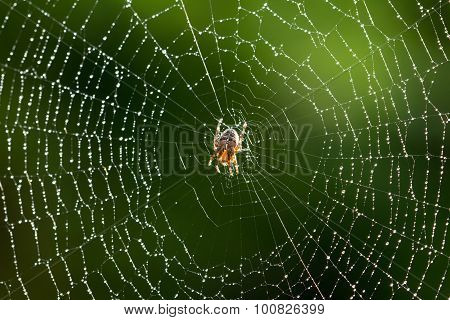 Spider On A Wet Web