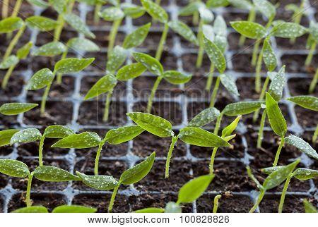 Water Drops On Seedlings