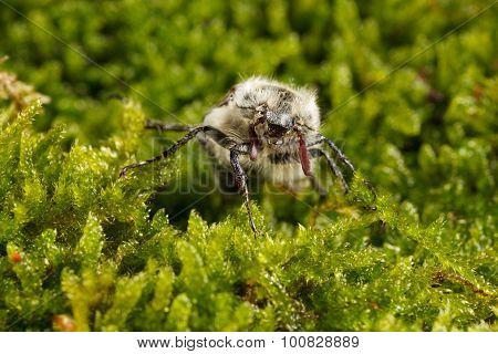 Macro Of Cockchafer Bug