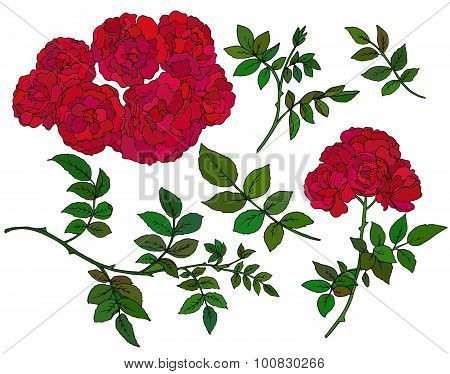 Vector Collection Of  Hand Drawn Red Bush Roses