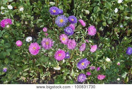 Vibrant Asters Blooming In The Garden