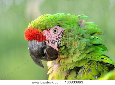 Military macaw (Ara militaris mexicana) portrait