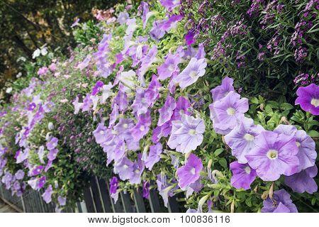 Flowerbed Of Beautiful Purple Flowers On The Metal Railing