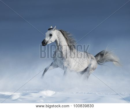 Purebred grey arabian stallion galloping over meadow in snow
