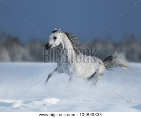 Grey arabian horse gallops on snow field