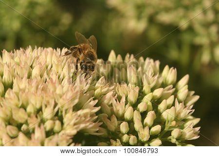 Flower sedum with bee