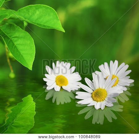 Three white yellow daisy flowers on green background reflected in water