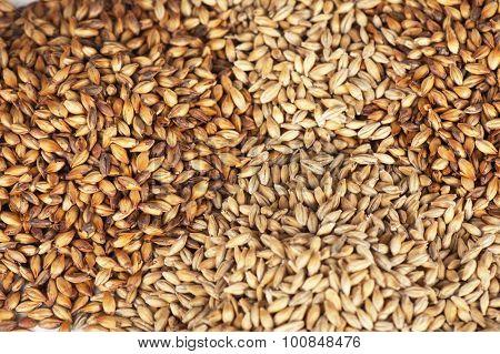 Close photo up of malt grains