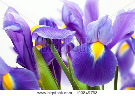 violet yellow iris blueflag flower on white backgroung