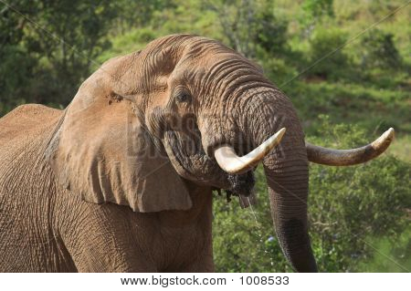 Thirsty Elephant Bull