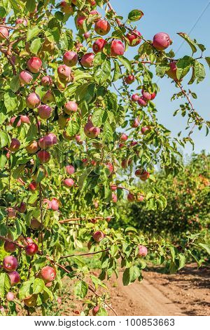 Red Apples On A Branch In A Sunny Garden