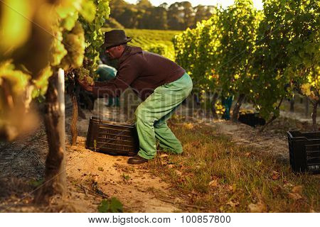 Worker Working In Vineyard
