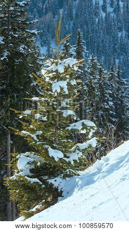 Winter Mountain Fir Forest.