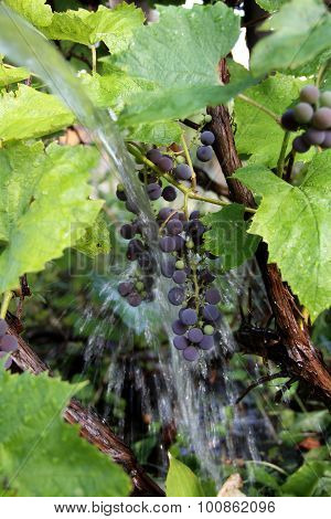 Vine grape bush watered by garden hose with water splash