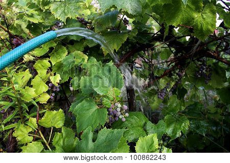 Vine grape bush watered by garden hose