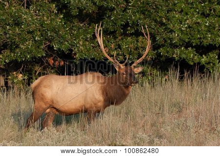 Wichita Mountain Elk