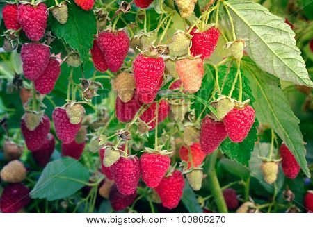 Raspberries In The Garden On The Branches Of A Bush.