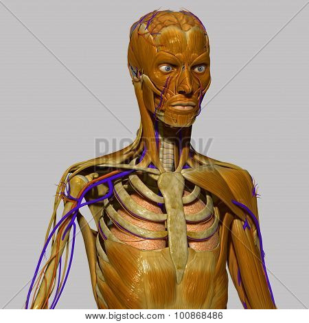 Human Anatomy with muscles