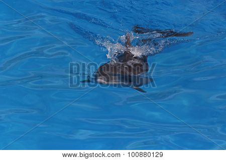 Dolphin In A Pool