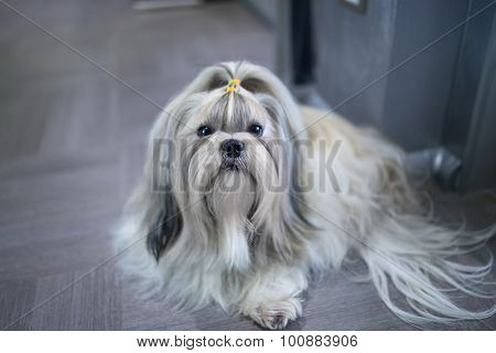 Shih tzu dog lying in home interior.