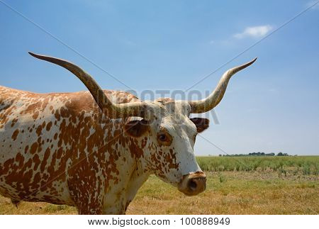 Beautiful Longhorn