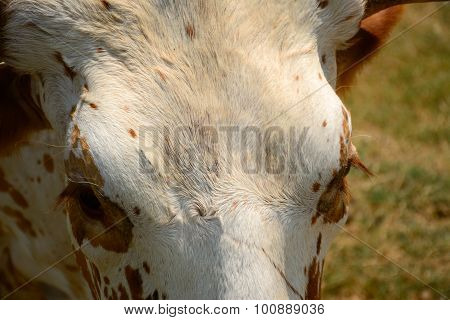 Longhorn Texture And Detail