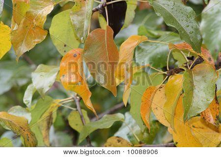 Abedul plateado (hojas en otoño)