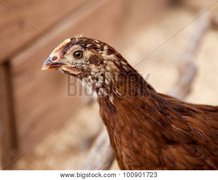 Young Rhode Island Red Pullet
