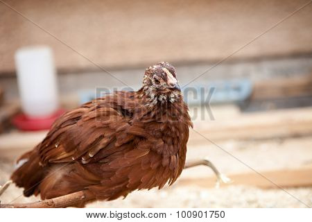 Rhode Island Red Brown Pullet
