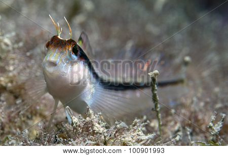 blenny white