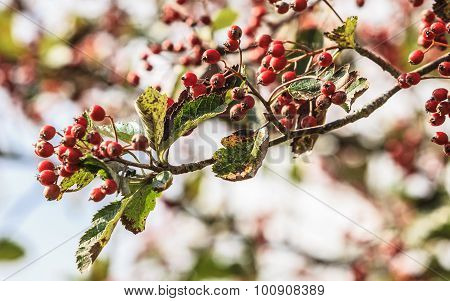 Rowan Berries In The Fall In Natural Setting