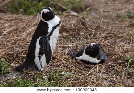 Nesting African Penguins