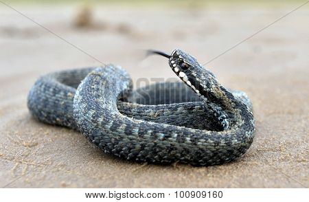 The Common European Adder Or Common European Viper