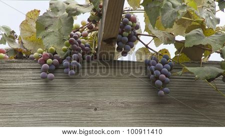 Grape Arbor With Hanging Fruit