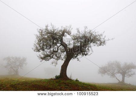 Olive Tree In November