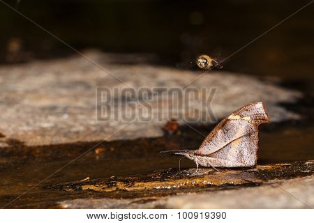 Club Beak Butterfly