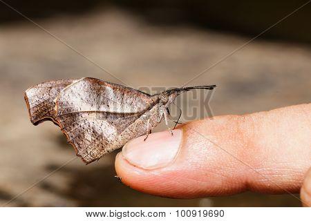 Club Beak Butterfly Feeding Food From Finger