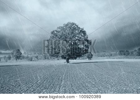 Secular Oak