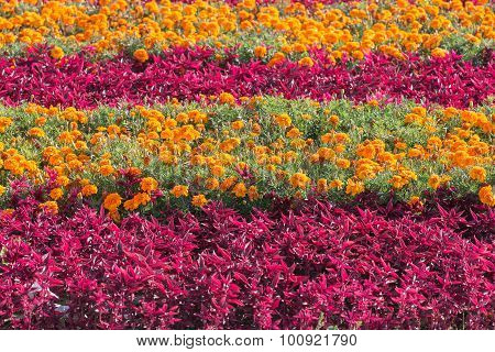 Flower Bed With Marigold
