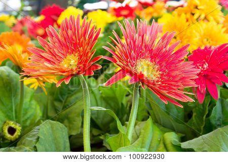 Close Up Red Gerbera Flower