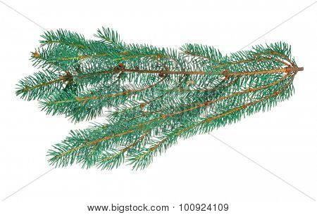 blue fir branch isolated on white background