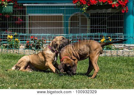 Two Puppy Of Fila Brasileiro (brazilian Mastiff)