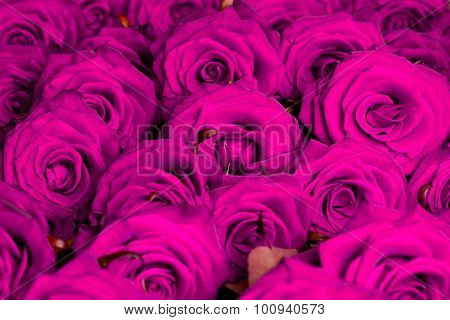 many purple roses in shallow DOF