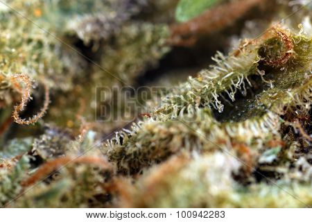 Medical dry cannabis close up