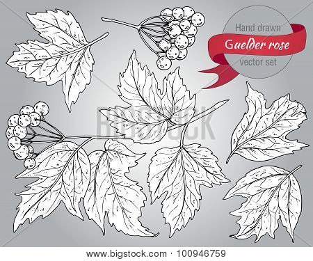 Clip Art Collection Of Hand Drawn Guelder Rose Plant With Berries And Leaves.