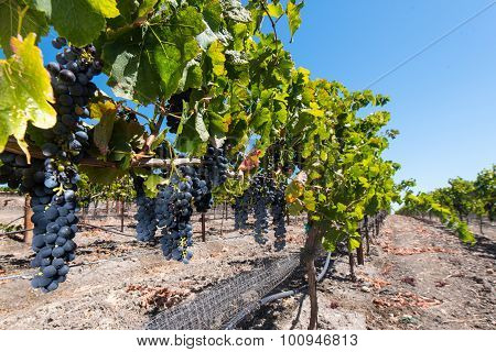 Ripe Wine Grapes Hang On The Vine In Field